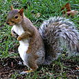 Squirrel, there are so many in the parks